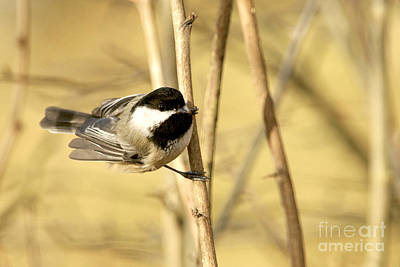 Photograph - Friendly Chickadee by Sharon Talson