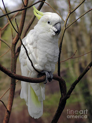 Pretty Cockatoo Photograph - Friendly Cockatoo by Judy Whitton