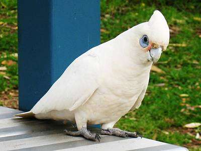 Photograph - Friendly Little Corella by Nancy Pauling
