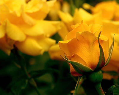 Mellow Yellow - Friendship Roses by Rona Black
