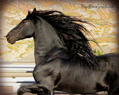 Photograph - Friesian At Liberty by Royal Grove Fine Art