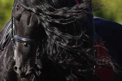 Art Print featuring the photograph Friesian Beauty D8197 by Wes and Dotty Weber
