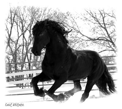Photograph - Friesian In Snow by Carol Whitaker