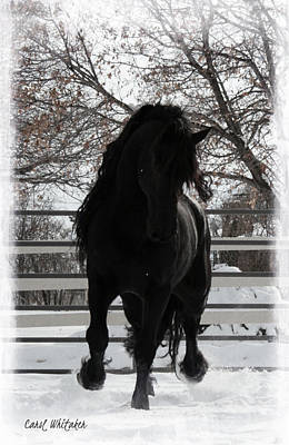 Photograph - Friesian Light by Carol Whitaker