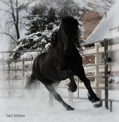 Photograph - Friesian Stride by Carol Whitaker