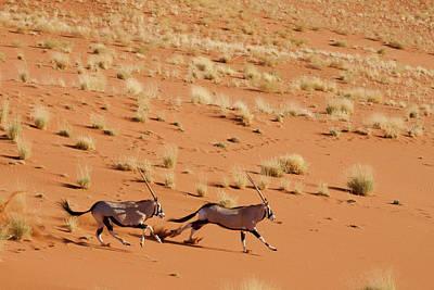 Bushman Photograph - Frightened Oryx (oryx Beisa Beisa by Jaynes Gallery