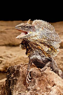 Frilled Lizard, Chalamydosaurus Kingii Art Print by David Northcott
