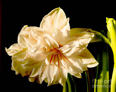 Photograph - Frilly Beauty With Dramatic Emphasis by Brenda Kean
