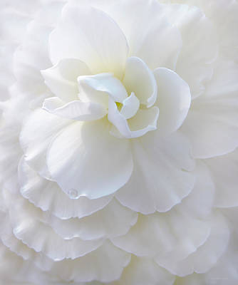 Photograph - Frilly Ivory Begonia Flower by Jennie Marie Schell