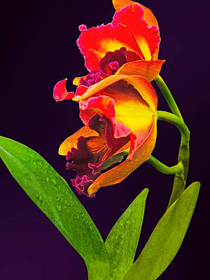 Conservatory Photograph - Frilly  Red And Yellow Orchids by Susan Savad