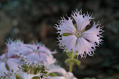 Print featuring the photograph Fringed Catchfly by Paul Rebmann
