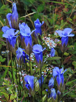Photograph - Fringed Gentian Wildflowers In Meadow by John Burk