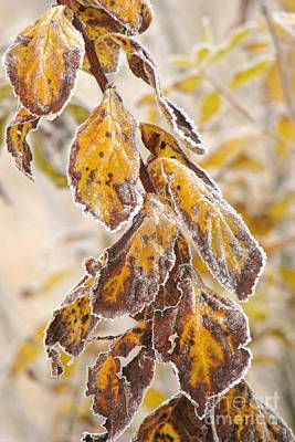 Photograph - Fringed In Frost by Frank Townsley