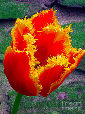 Photograph - Fringed Tulip by Nina Silver