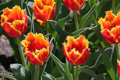 Photograph - Fringed Type Davenport Tulips by Allen Beatty