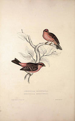 Asian Artist Drawing - Fringilla Rodopepla, Spot-winged Rosefinch by Quint Lox