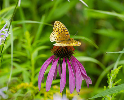 Sports Royalty-Free and Rights-Managed Images - Fritilarie Butturfly On Purple Cone Flower by David Tennis