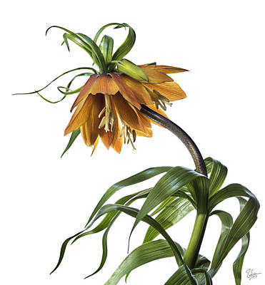 Photograph - Fritillaria Imperialis by Endre Balogh
