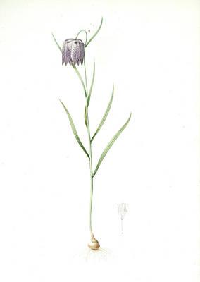 Meleagris Drawing - Fritillaria Meleagris, Fritillaire Pintade Snakehead by Artokoloro