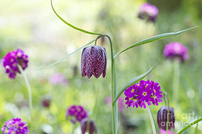 Snake Head Photograph - Fritillary And Primula  by Tim Gainey