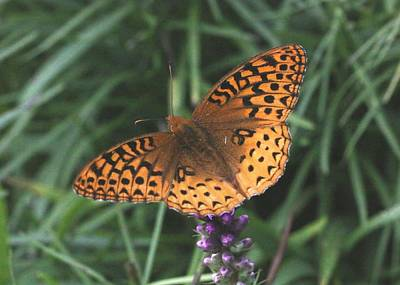 Photograph - Fritillary Butterfly by Lucinda VanVleck