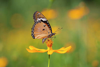 Photograph - Fritillary Butterfly On An Orange by Enviromantic