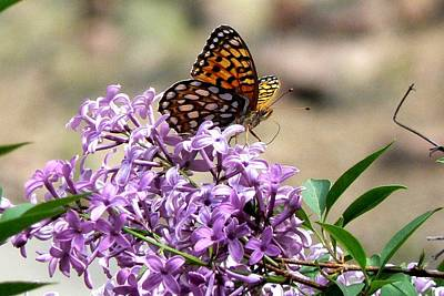 Photograph - Fritillary Butterfly On Lilac by Marilyn Burton