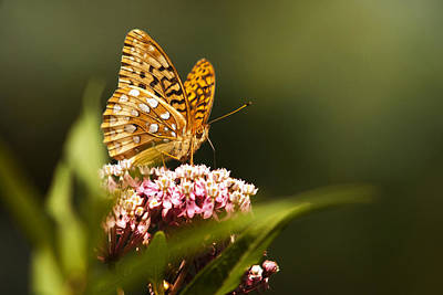 Photograph - Fritillary Butterfly On Pink Milkweed Flower by Christina Rollo