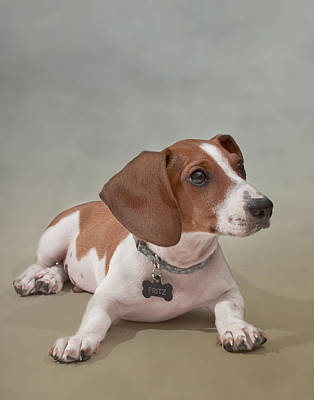 Photograph - Fritz The Piebald Dachshund by David and Carol Kelly