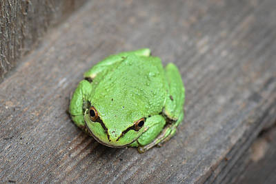 Photograph - Frog 2 by Ronda Broatch