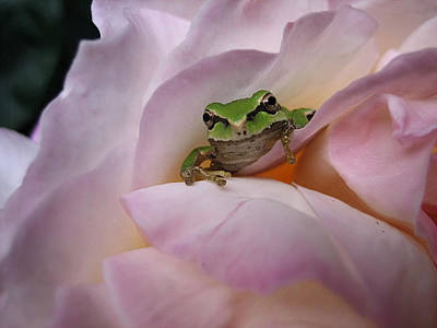 Photograph - Frog And Rose Photo 1 by Cheryl Hoyle