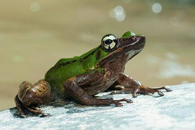 Frog By Stream In Malaysia Art Print