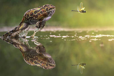 Photograph - Frog Chasing Damselfly, Indonesia by Shikheigoh