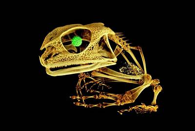Gastrotheca Photograph - Frog by Dan Sykes/natural History Museum, London