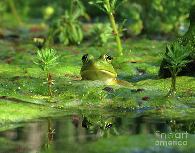 Frog Art Print by Douglas Stucky