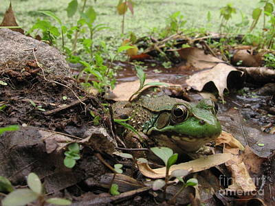 Frog In Swamp At Bowman's Hill Art Print by Anna Lisa Yoder