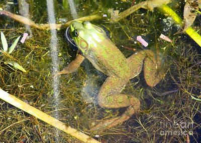 Photograph - Frog In The Pond by Carol Groenen