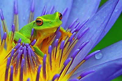 Photograph - Frog In Water Lily Flower. by David Clode