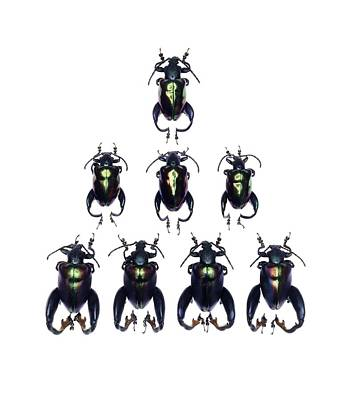 Frog-legged Leaf Beetles Art Print by Science Photo Library