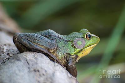 Photograph - Frog On A Log by Bianca Nadeau
