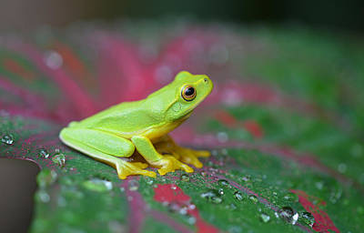 Photograph - Frog On A Tropical Leaf by David Clode