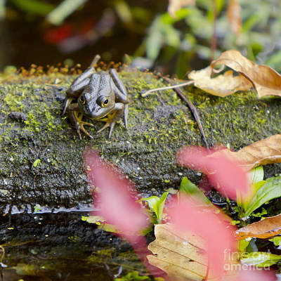 Photograph - Frog On Log 1 Of 3 by Brad Marzolf Photography