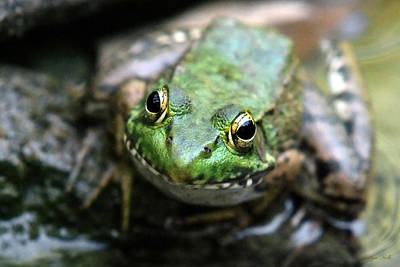 Frogs Photograph - Frog Prince by Christina Rollo