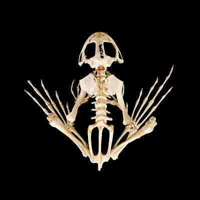 Frog Photograph - Frog Skeleton by Ucl, Grant Museum Of Zoology