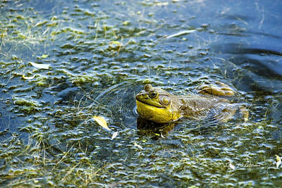 Photograph - Frog Song by Edward Peterson