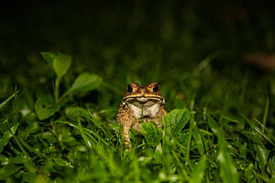 Art Print featuring the photograph Frog Stare by Mike Lee