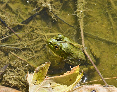 Photograph - Frog Thinks He's Hidden Under A Twig by Allen Sheffield
