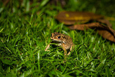 Art Print featuring the photograph Froggie by Mike Lee