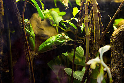 Frogs Photograph - Exotic Green Frogs In A Tree by Pati Photography
