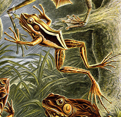 Leap Frog Digital Art - Frogs Detail by Unknown